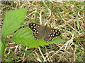 SW5133 : Speckled Wood butterfly (Pararge aegeria) by Rod Allday