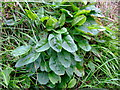 SN0038 : Wild sorrel (Rumex acetosa) by ceridwen