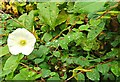J4774 : Bindweed at Kiltonga by Albert Bridge