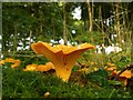 NX3260 : Chanterelles : Week 32