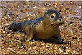 TG0545 : Young Common Seal on beach at Cley Eye by Ian Capper