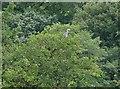 SE2406 : Heron in the trees above Gunthwaite Dam by Wendy North