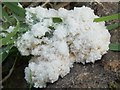 NS3878 : A slime mould - Mucilago crustacea : Week 35