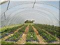 TR0361 : Strawberries in September at Goodnestone : Week 36