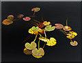 NX3054 : Water lilies, Loch Hempton : Week 37