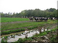 N8572 : Cows at Randalstown, Co. Meath by Kieran Campbell