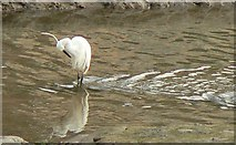 SX5547 : Little Egret preening in channel of Newton Creek by Mick Lobb