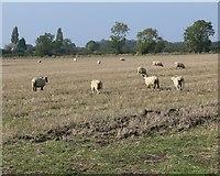 SK8037 : Sheep and farmland near Bottesford by Mat Fascione
