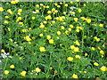 NY7508 : Globe Flowers, Waitby Greenriggs NR by Geoff White
