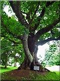 NJ5429 : The Gallows Tree, Leith Hall by Alan Findlay