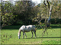 SO8483 : Grazing by the River Stour, Kinver, Worcestershire by Roger  Kidd