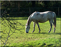 SO8483 : Autumn grazing near Kinver, Worcestershire by Roger  Kidd