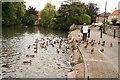 SK5992 : Duck feeding by Richard Croft