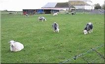 SH3568 : Sheep at Rectory Farm by Eric Jones