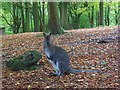 SU7685 : Wallaby in Rowe Wood, Fawley by Andrew Smith