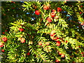 SK1029 : Fruit of the yew by Jonathan Billinger