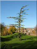 TL4359 : Conifer outside Churchill College by Keith Edkins