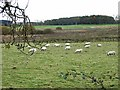 NZ0988 : Sheep at Thornton Moor by Oliver Dixon