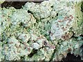 NS3778 : A lichen - Baeomyces rufus by Lairich Rig