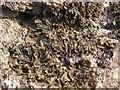 NS3675 : A lichen - Collema furfuraceum by Lairich Rig