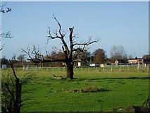 TQ1479 : Dead Oak tree by J Taylor