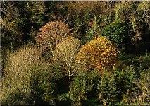 SX9065 : Trees near Torre Station by Derek Harper