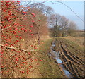 TM0247 : Rose hips and hedge side footpath by Andrew Hill