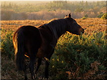 SU2609 : Pony eating gorse, Acres Down, New Forest by Jim Champion
