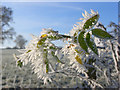 NY4729 : Hoar frost on wild rose leaves, Newbiggin by Andrew Smith