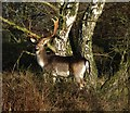 SJ9819 : Stag at Brocton, Cannock Chase by Tim Marshall