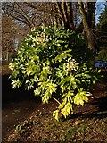 SX9164 : Fatsia in Upton Park by Derek Harper