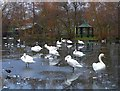NY4053 : Swans on ice, Hammond's Pond by Rose and Trev Clough
