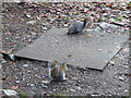 SN6896 : Well-fed squirrels at RSPB Ynyshir by Nigel Brown