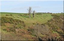 SX5646 : Dead trees above Stoke Beach by Sarah Charlesworth
