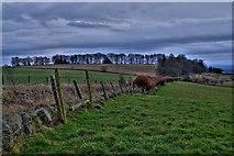 NO1846 : Copper hedge field boundary on Bonnington Road by David Martin