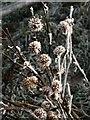 SO3178 : Frosted burs, Pen-y-wern Hill by Derek Harper