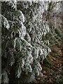 SO3179 : Hoarfrost on conifer by Derek Harper
