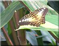 TQ0658 : Butterfly in the Glasshouse at Wisley by Colin Smith