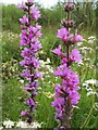NS3976 : Purple-loosestrife (Lythrum salicaria) by Lairich Rig
