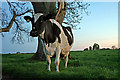 NY5737 : Cow and standing stones by Helen Wilkinson