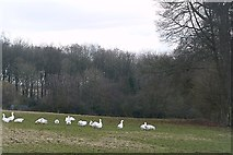 SU6578 : Geese at Collins End by Graham Horn