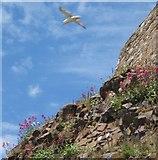 NU1341 : Fulmar circling its nest by Barbara Carr