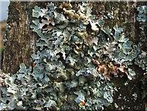 NS3678 : A lichen - Parmelia sulcata by Lairich Rig