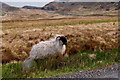 B9827 : Road from Falcarragh SE to R251 - Sheep along road by Suzanne Mischyshyn