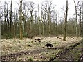 SP9712 : A Recently Created Woodland Clearing at Ashridge by Chris Reynolds