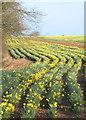 SW7729 : Daffodil field at Mawnan Smith by Rod Allday