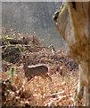 TG1820 : Roe buck (Capreolus capreolus) with antlers in velvet by Evelyn Simak