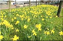 J3474 : Daffodils, Belfast by Albert Bridge
