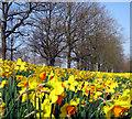 J3269 : Daffodils, Barnett Demesne by Rossographer