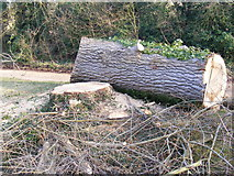 TM3569 : Part of the felled Poplars trees in The Causeway, Peasenhall by Adrian Cable